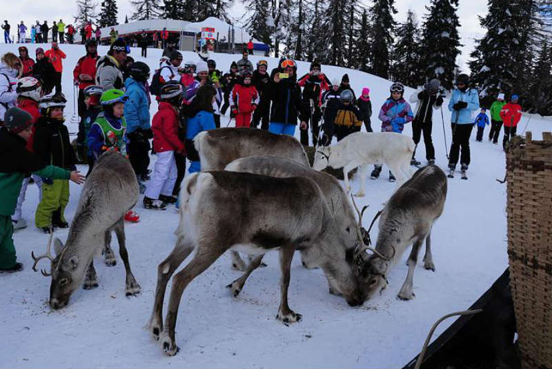 Reindeer at ski area Rotwandwiese